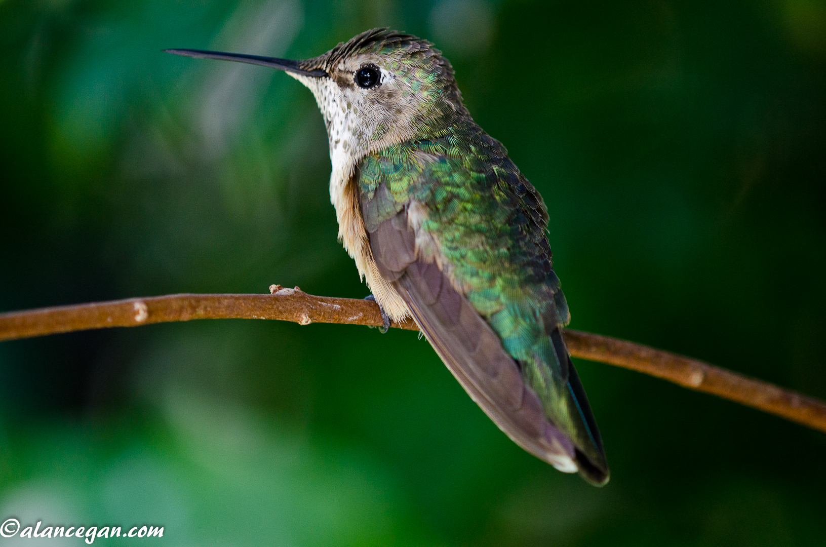 green-hummingbird