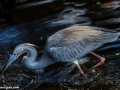 blue-heron-hunting