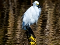 perched-snowy-egret