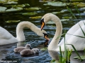swans-in-england