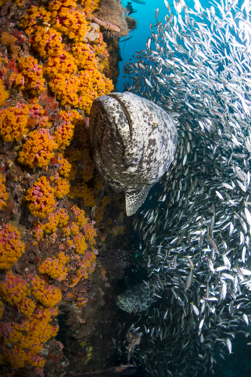 Goliath With Cup Coral 2