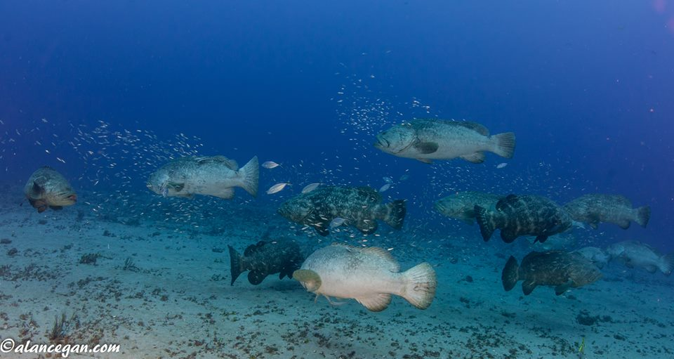 goliath-grouper-aggregation