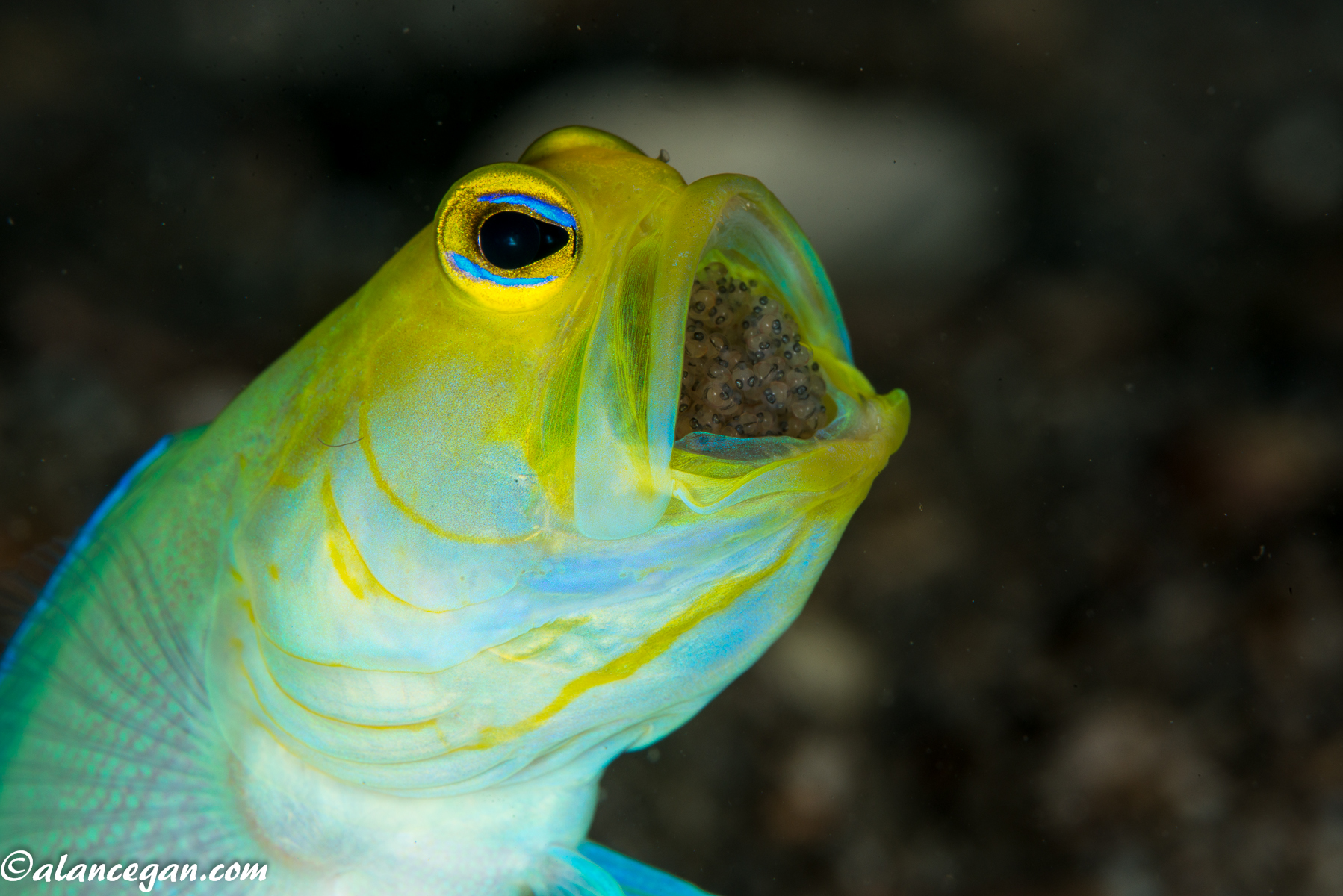 jawfish-with-eggs-2