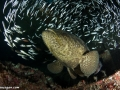 goliath-grouper-on-the-castor