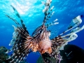 lion-fish-over-brain-coral