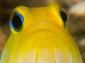 yellow-headed-jawfish