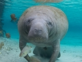 manatee-reflection