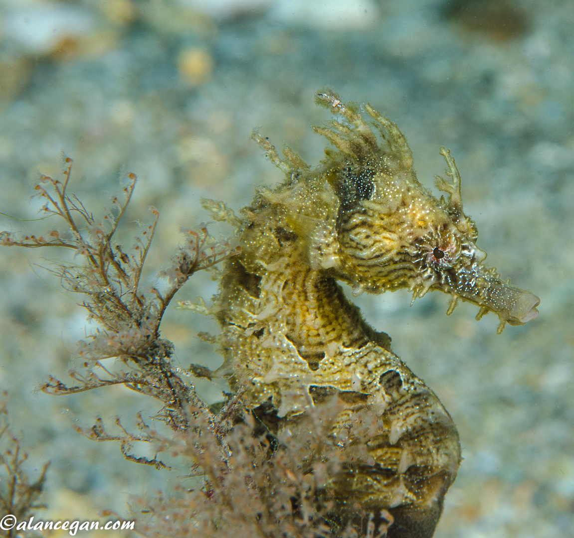 striated-seahorse-two