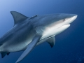 bull-shark-with-cobia