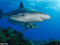 caribbean-reef-sharks