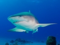 cruising-lemon-shark