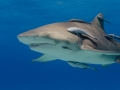 lemon-shark-with-remoras