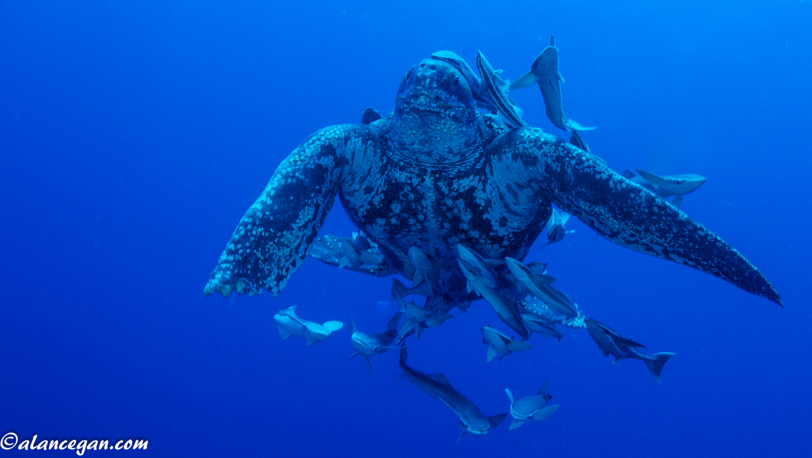 leatherback-with-remoras