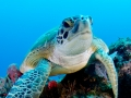 green-turtle-on-reef