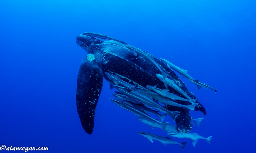 Underwater photograph of a rare Leatherback Sea Turtle covered in Remoras taken in the waters off Jupiter Florida by Alan C Egan