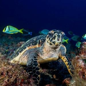 Underwater photograph of a Hawksbill Sea Turtle taken in the waters off Jupiter Florida by Alan C Egan