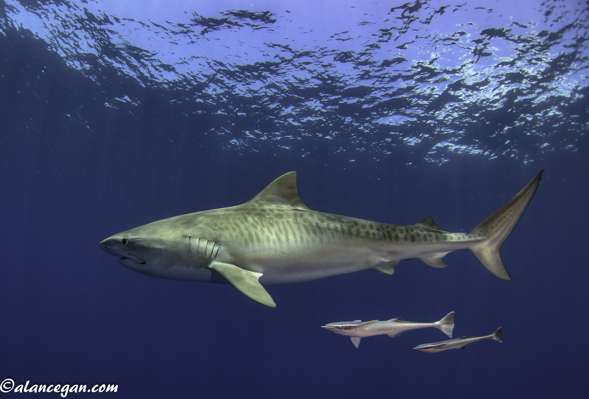 Tiger Shark with Remoras in Jupiter, Florida