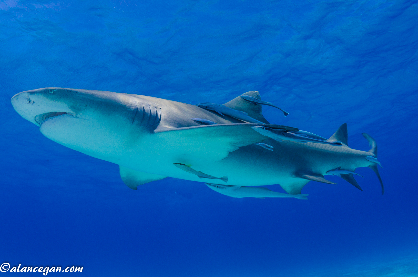 Underwater photograph of a Lemon Shark cruising the Bahamas