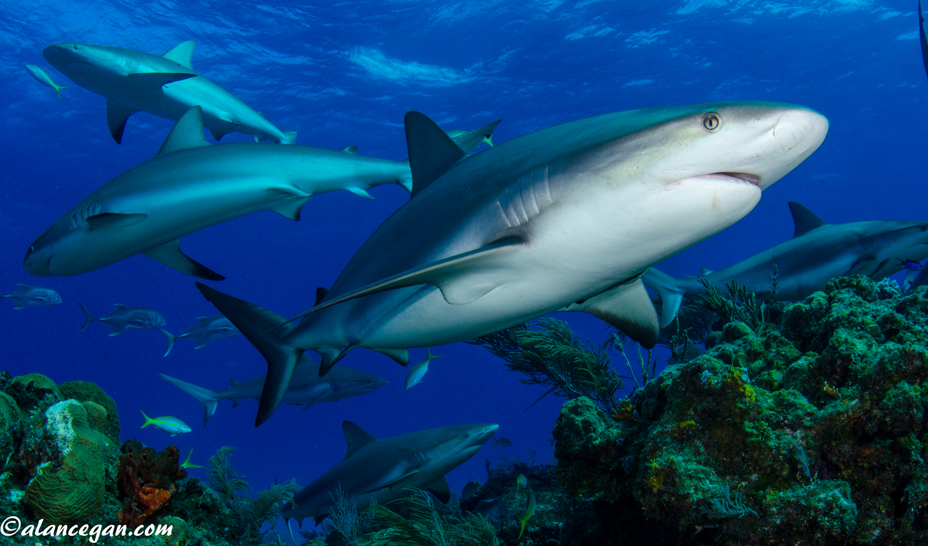 Underwater photograph of a group of Reef Sharks in the Bahamas