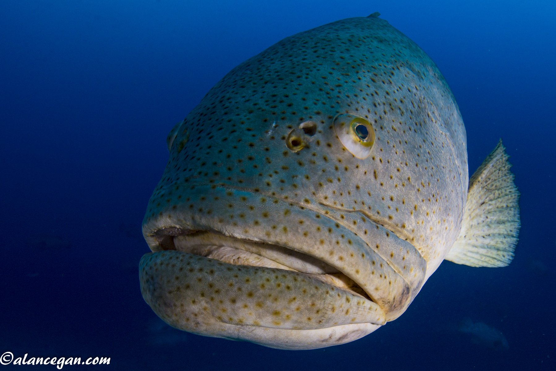 Underwater photograph of a Goliath Grouper