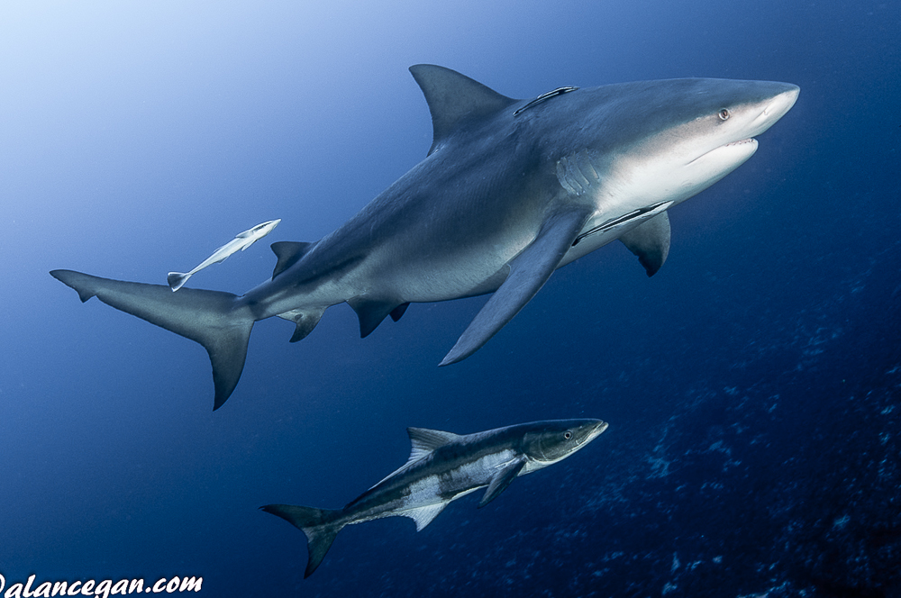 Underwater photograph of a Bull Shark with Cobia in tow.