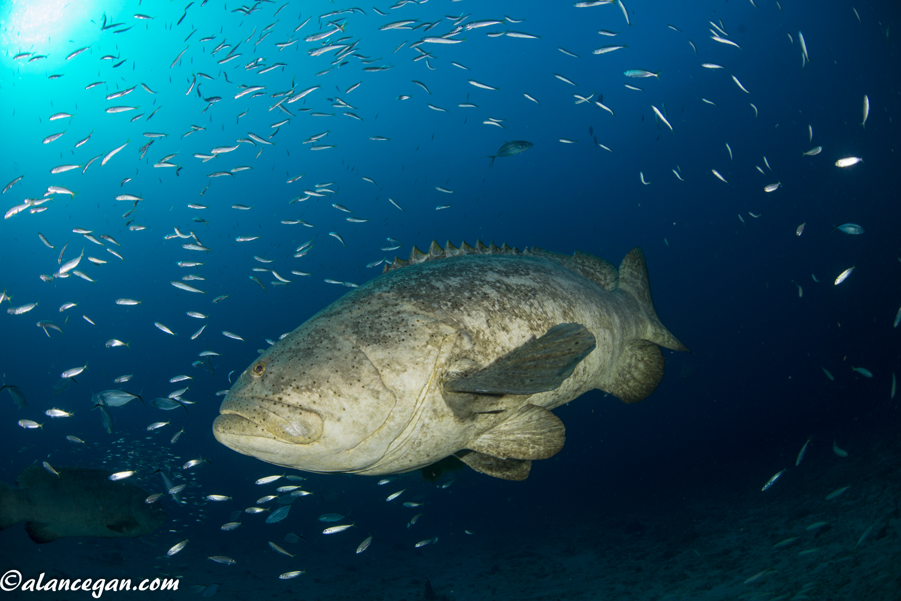 Underwater photograph of a Goliath Grouper on the wreck of the Castor