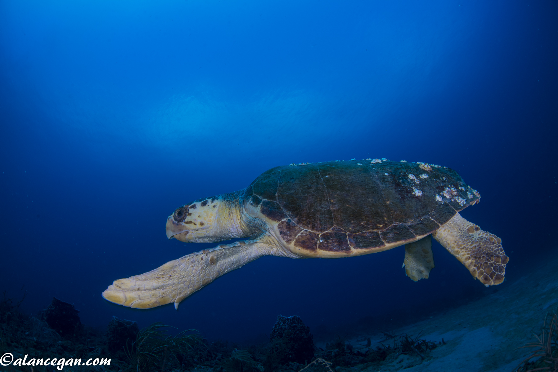 Underwater photograph of a Loggerhead Turtle on the wreck of the Castor taken by Alan C Egan
