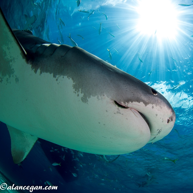 Underwater photograph of a Tiger Shark