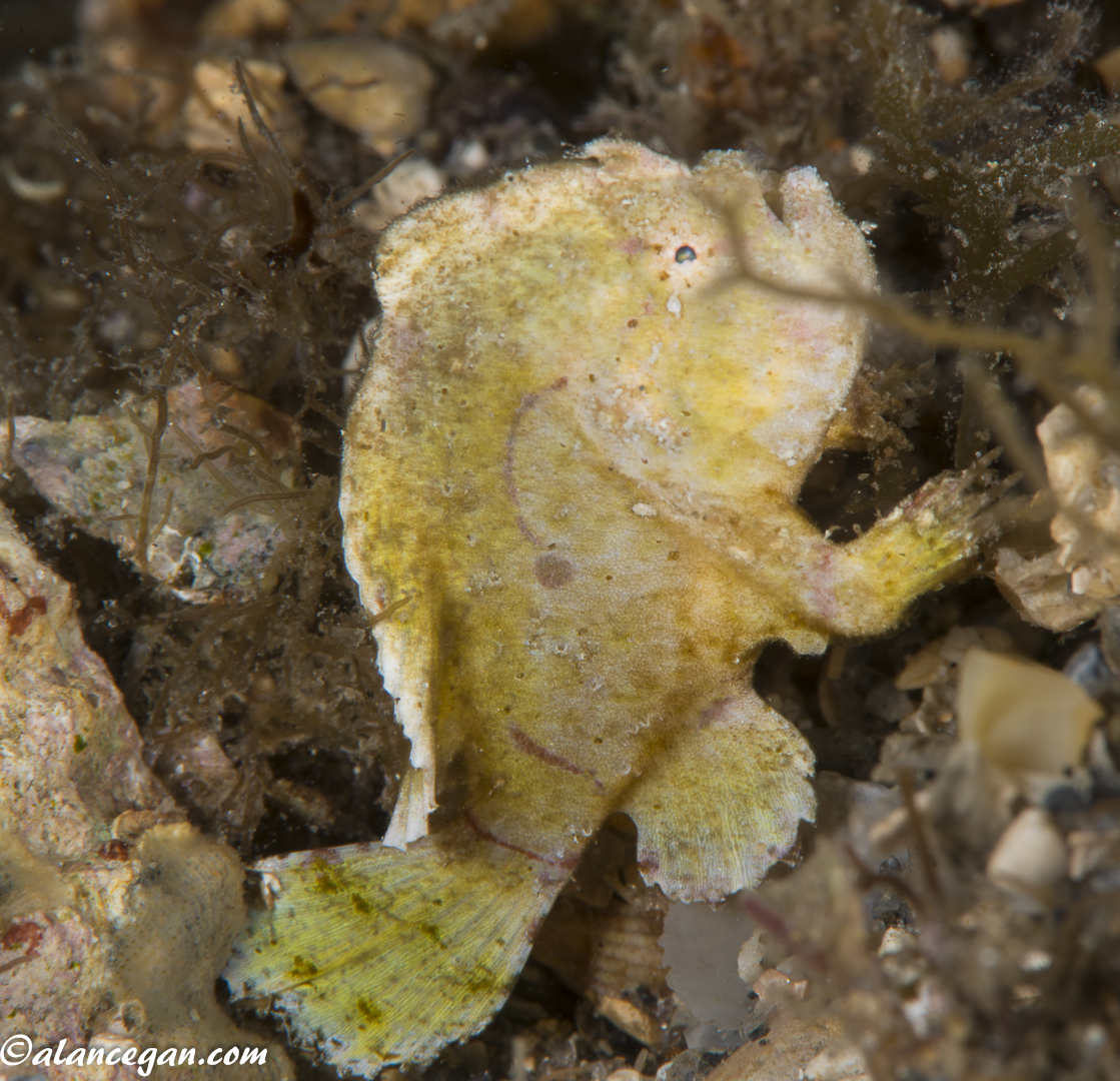 Underwater photograph of a Dwarf Frog Fish taken by alan C Egan while diving the Blue Heron Bridge in West Palm Beach Florida.