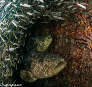 Goliath Groupers on The Castor