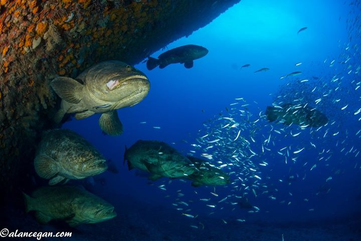Goliath Groupers on the Bow