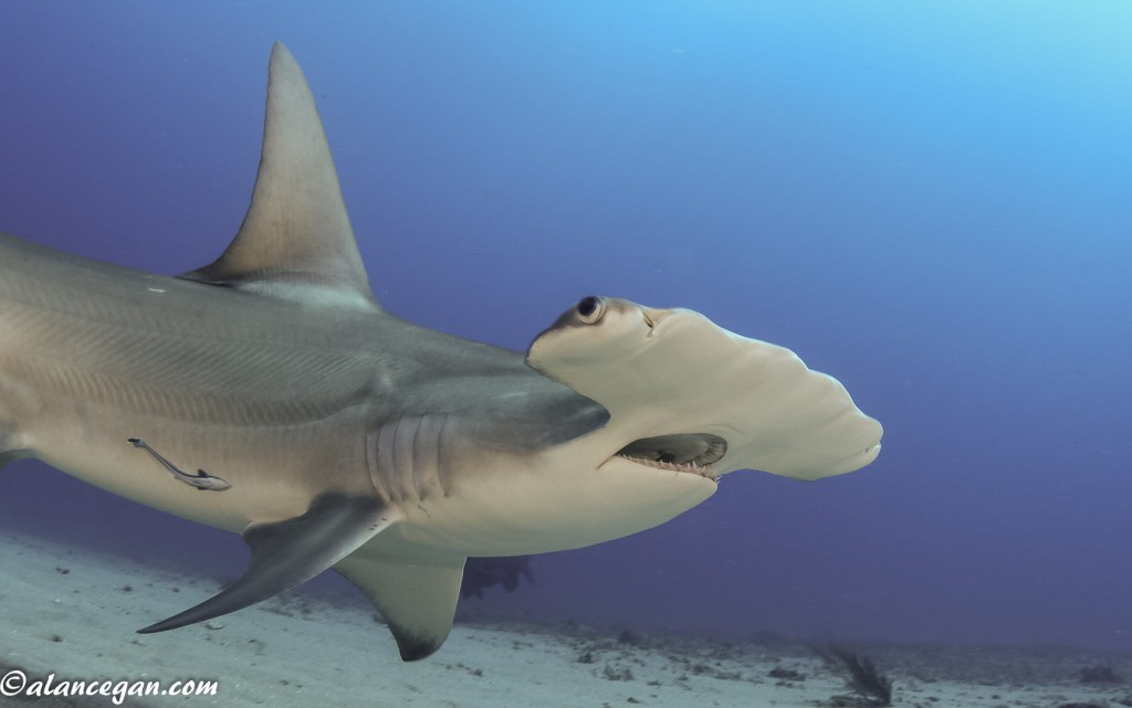 Jupiter Hammerhead was taken by Alan C Egan while diving in Jupiter Florida