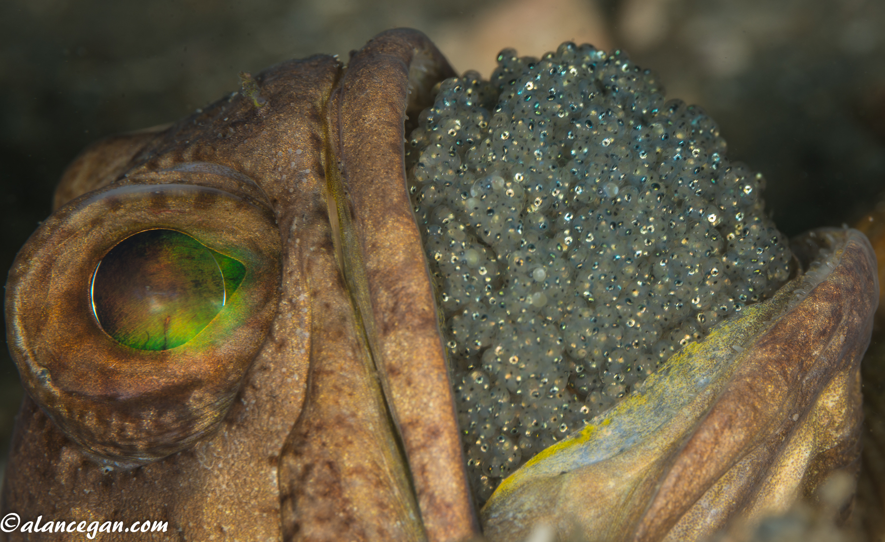 Underwater of a Male Banded Jawfish incubating eggs in his mouth