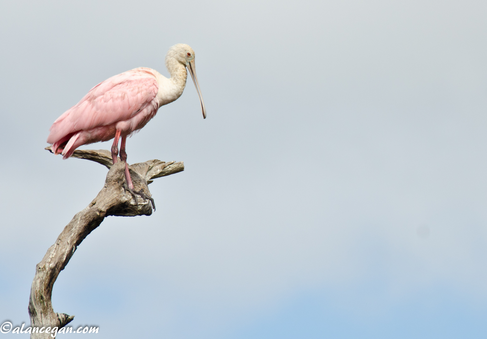 Amazing nature photograph of a Perched Roseate Spoonbill taken in Florida by Alan C Egan