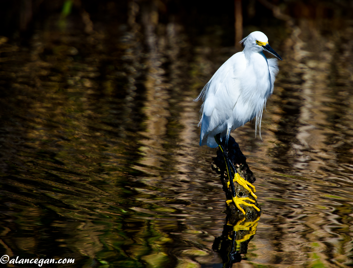 Photograph of a Perched Snowy Egret