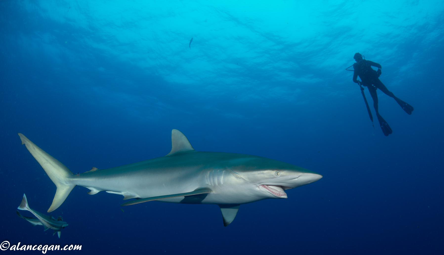 Photograph of a Silky Shark with a broken jaw