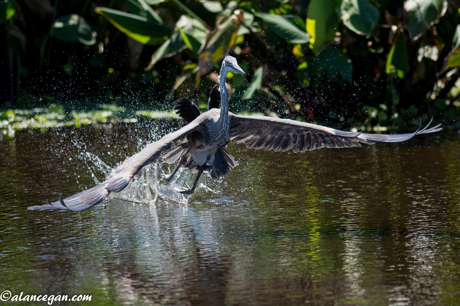 Photograph of a Blue Heron landing in the water in Florida by Alan C. Egan