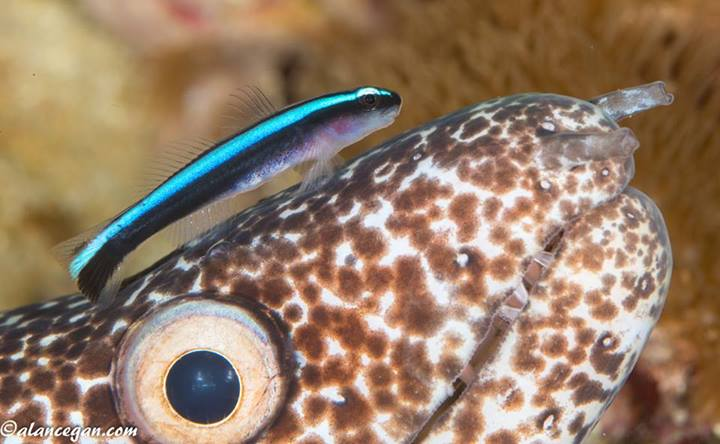 Spotted Moray With Fish