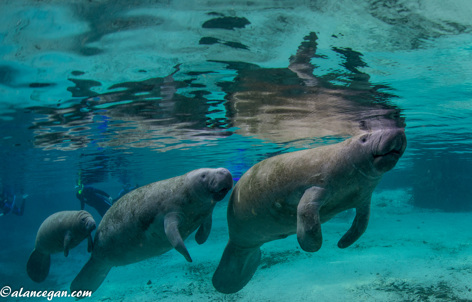 Underwater photograph of Manatees or Sea Cows while snorkeling at Crystal River in Florida by Alan C Egan