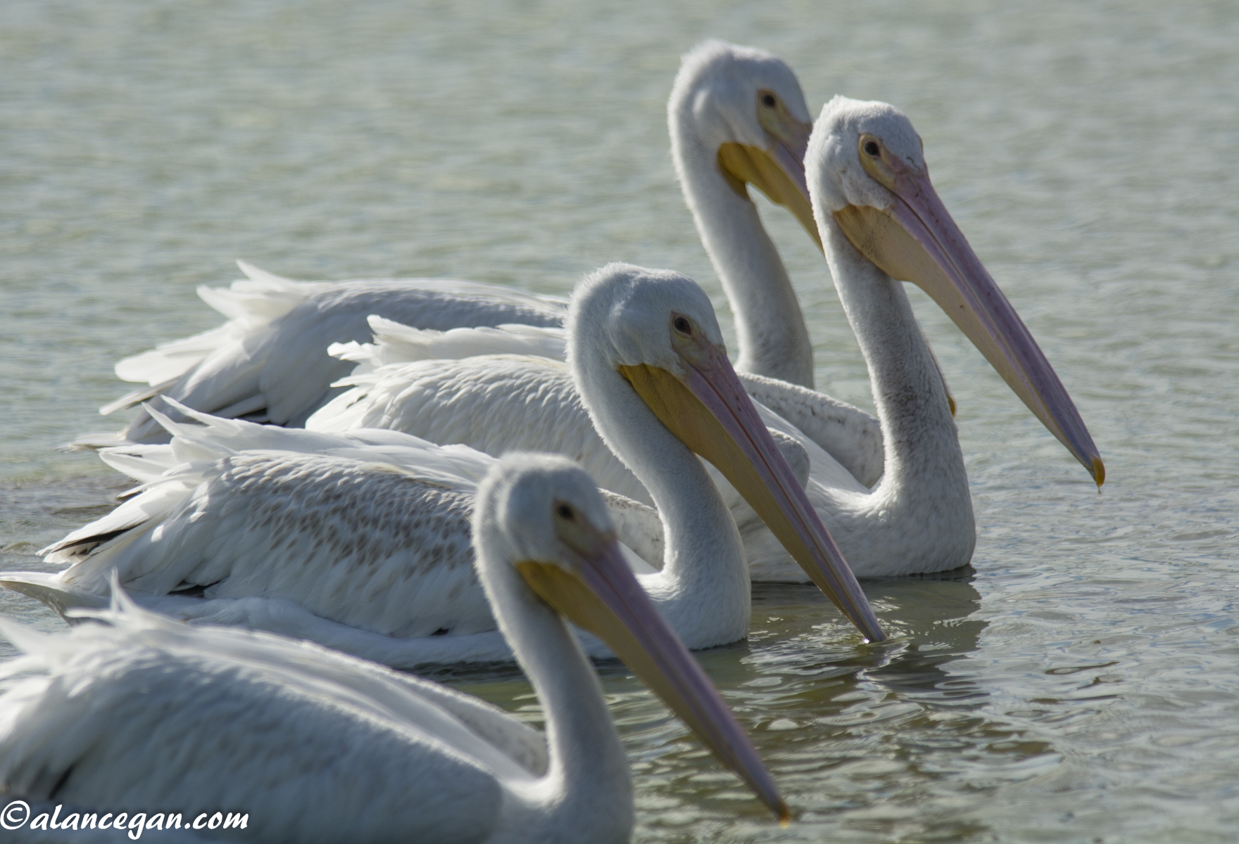 Photograph of a group of White Pelicans